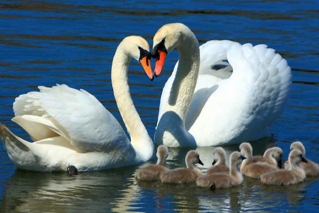 Красивые фото двух влюбленных лебедей 003