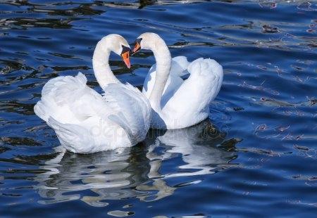 Красивые фото двух влюбленных лебедей 004