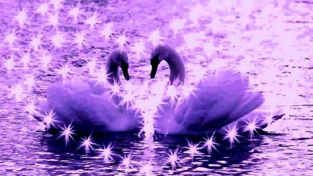 Красивые фото двух влюбленных лебедей 006