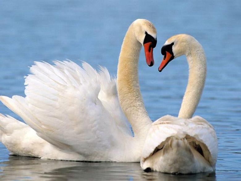 Красивые фото двух влюбленных лебедей 009