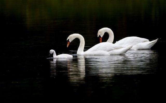 Красивые фото двух влюбленных лебедей 010