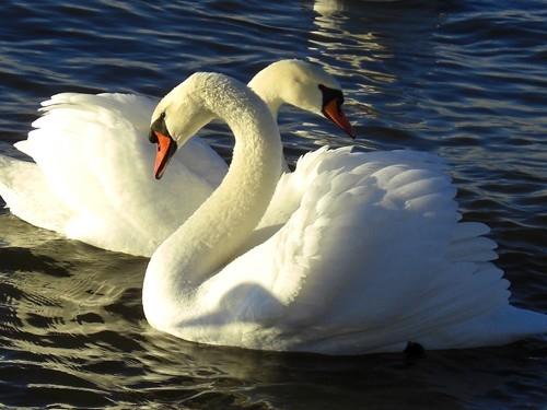 Красивые фото двух влюбленных лебедей 011
