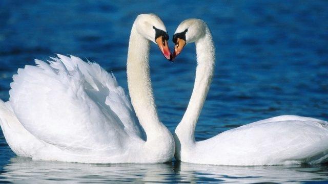 Красивые фото двух влюбленных лебедей 012