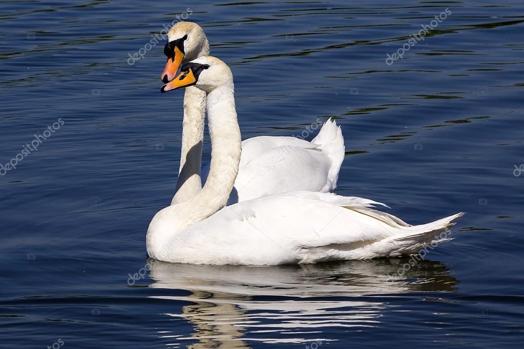 Красивые фото двух влюбленных лебедей 013
