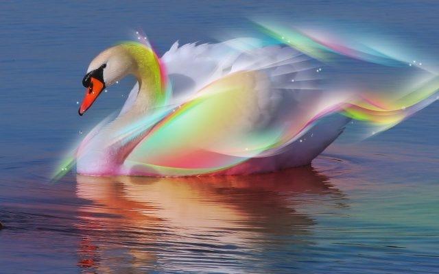 Красивые фото двух влюбленных лебедей 014