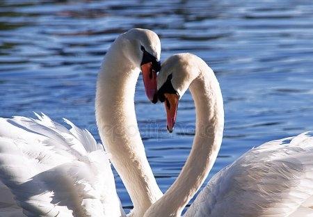 Красивые фото двух влюбленных лебедей 016