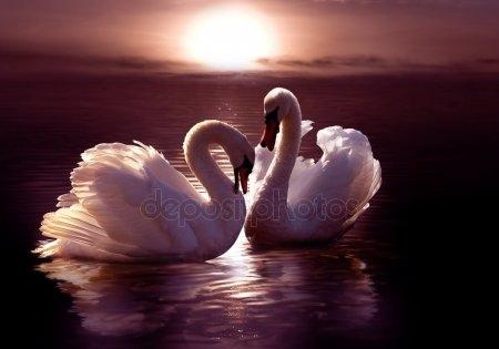 Красивые фото двух влюбленных лебедей 017