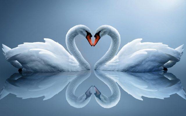 Красивые фото двух влюбленных лебедей 018