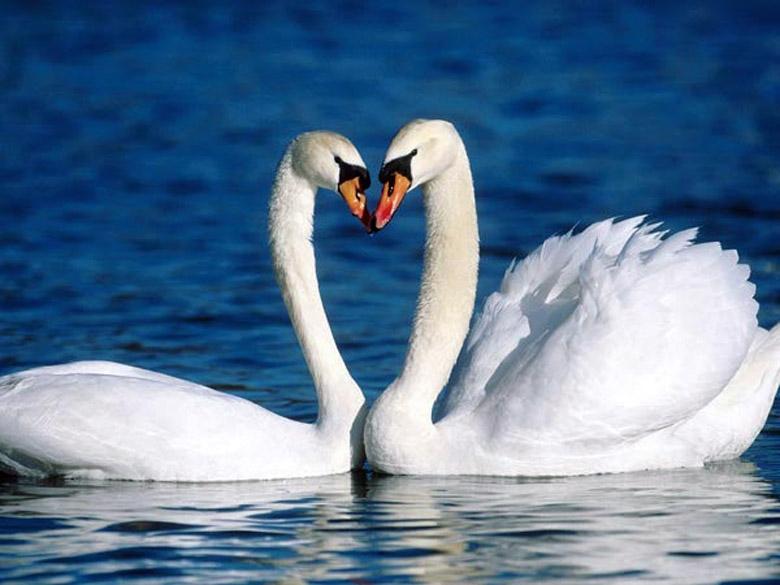 Красивые фото двух влюбленных лебедей 019