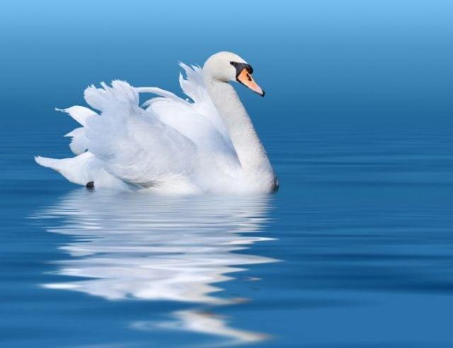 Красивые фото двух влюбленных лебедей 020