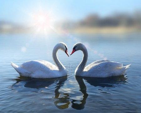 Красивые фото двух влюбленных лебедей 022