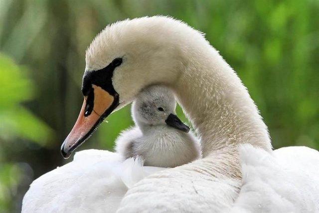 Красивые фото двух влюбленных лебедей 023