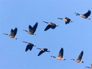 Красивые фото осенний перелет птиц029