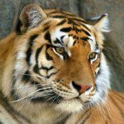 Красивые фото тигра амурского скачать бесплатно 024