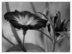 Красивые черно белые картинки цветы 022