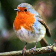 Лесные птицы   фото с названиями пермского края (17)