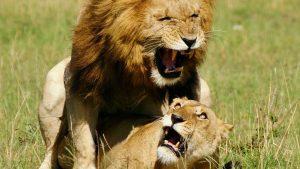 Львы фото на рабочий стол003