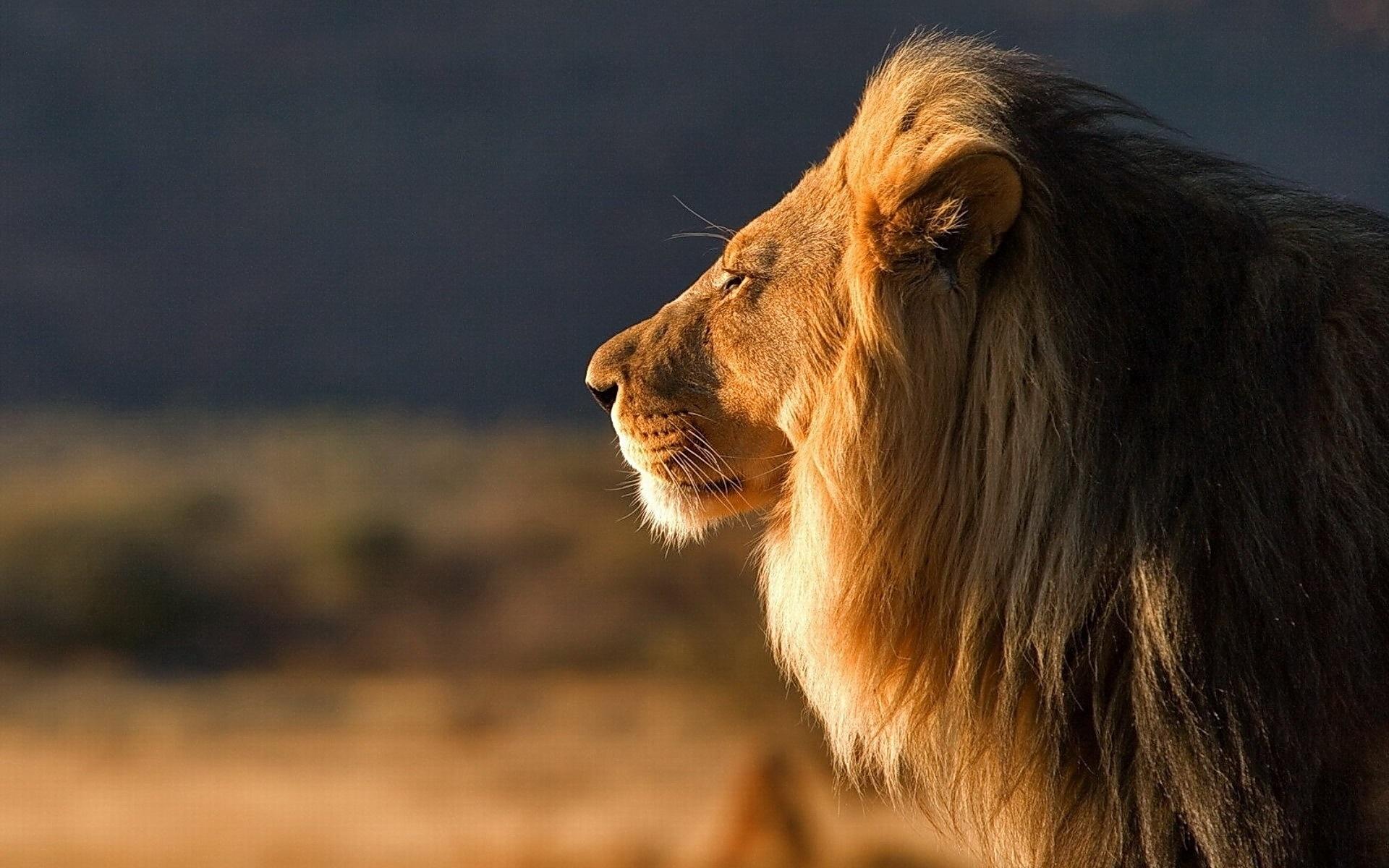 фото высокого качества львы на фон телефона замачивания