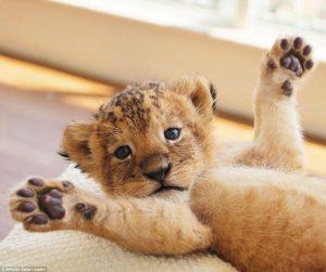 Милые картинки лев и львенок   подборка 023