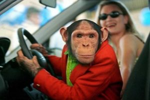 Обезьянка за рулем картинки и фото019