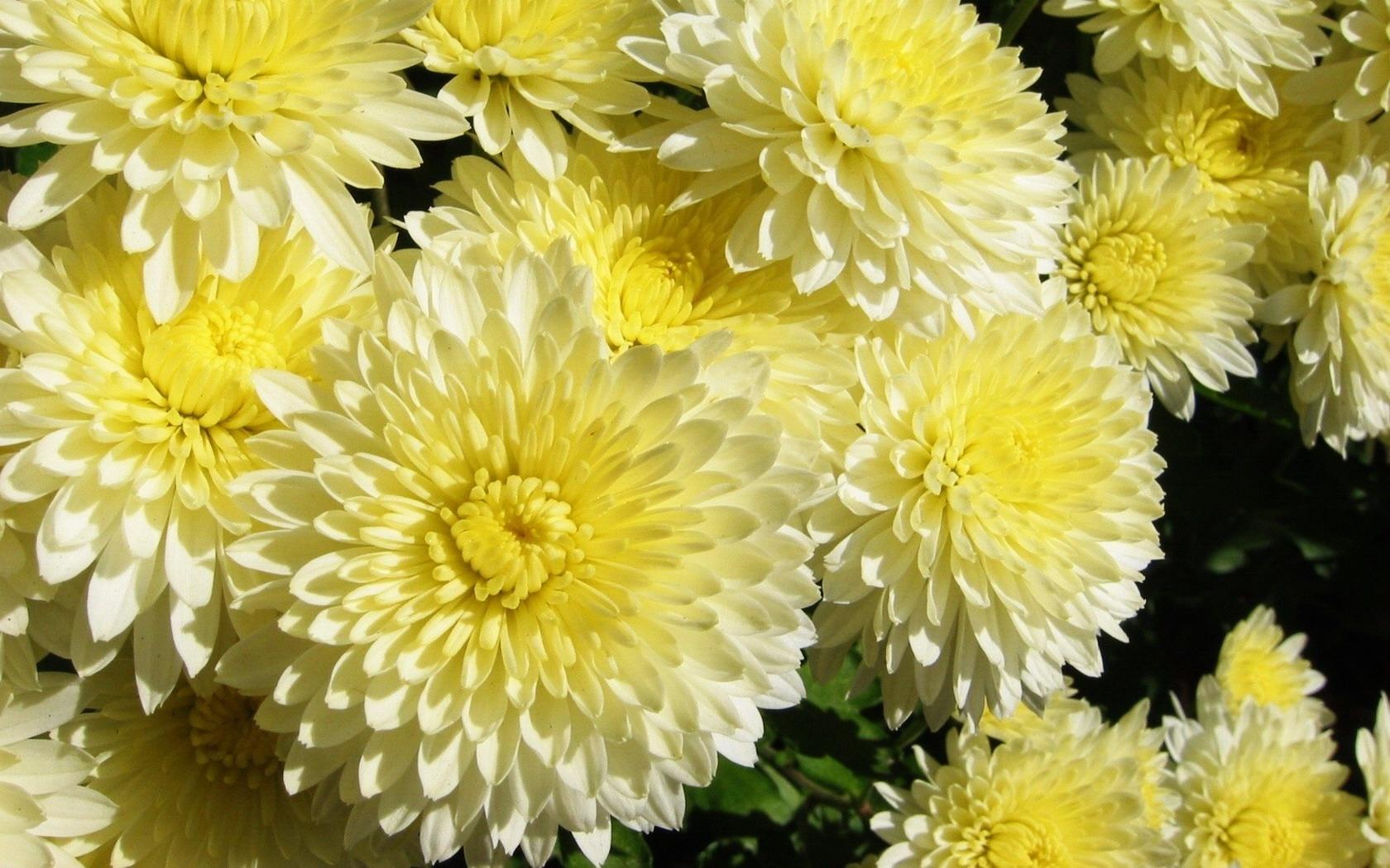 Обои для рабочего стола осенние цветы хризантемы (16)
