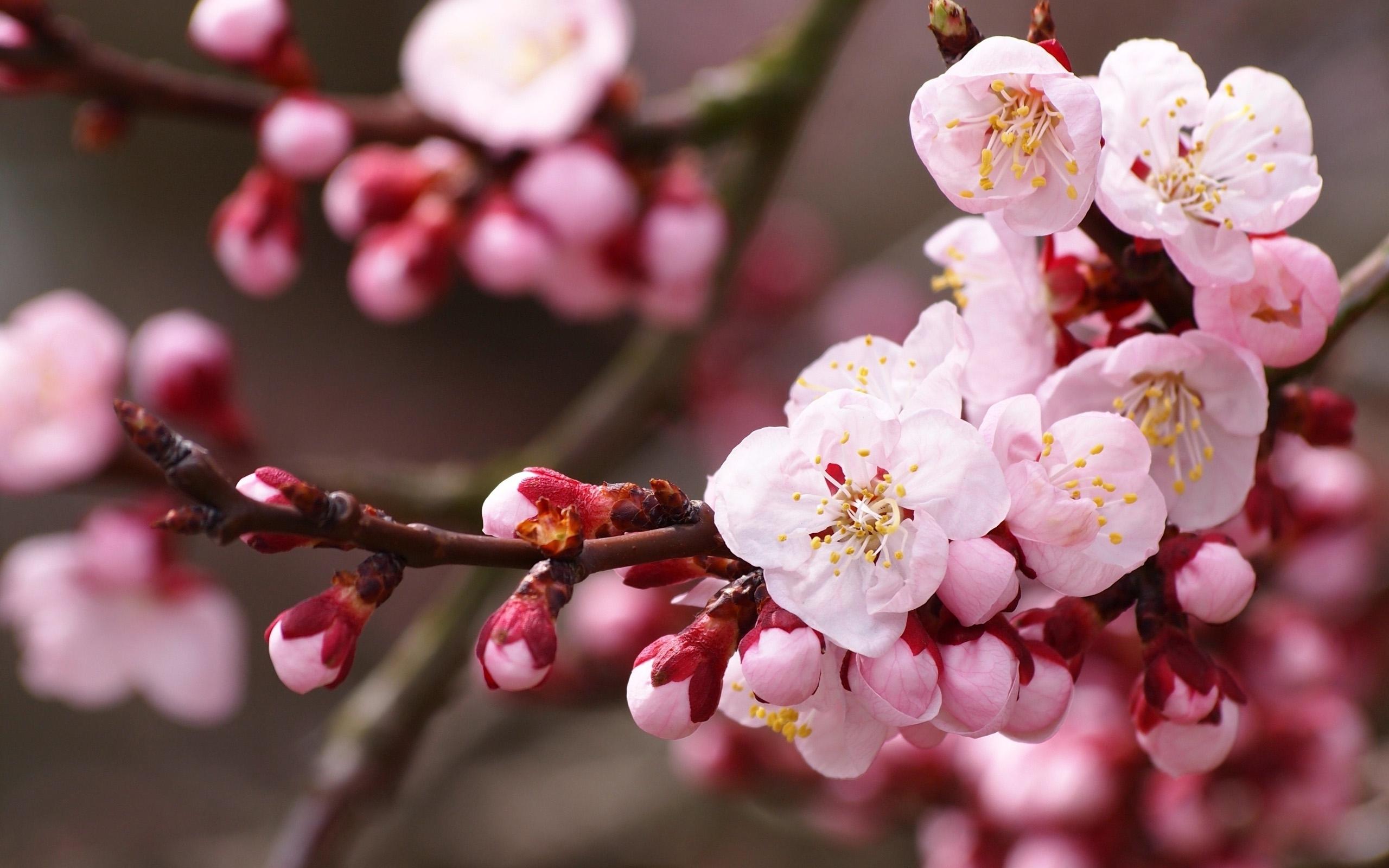 Обои на рабочий стол Сакура в цвету   красивые (1)