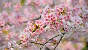 Обои на рабочий стол Сакура в цвету   красивые (18)