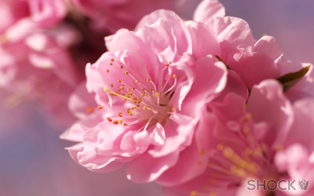 Обои на рабочий стол Сакура в цвету   сборка (11)