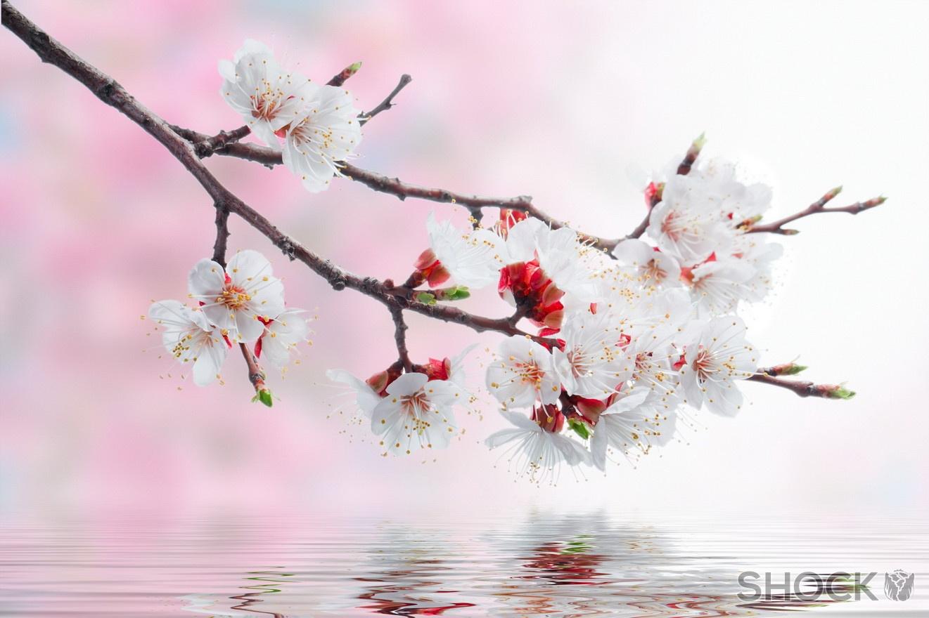 Обои на рабочий стол Сакура в цвету   сборка (12)