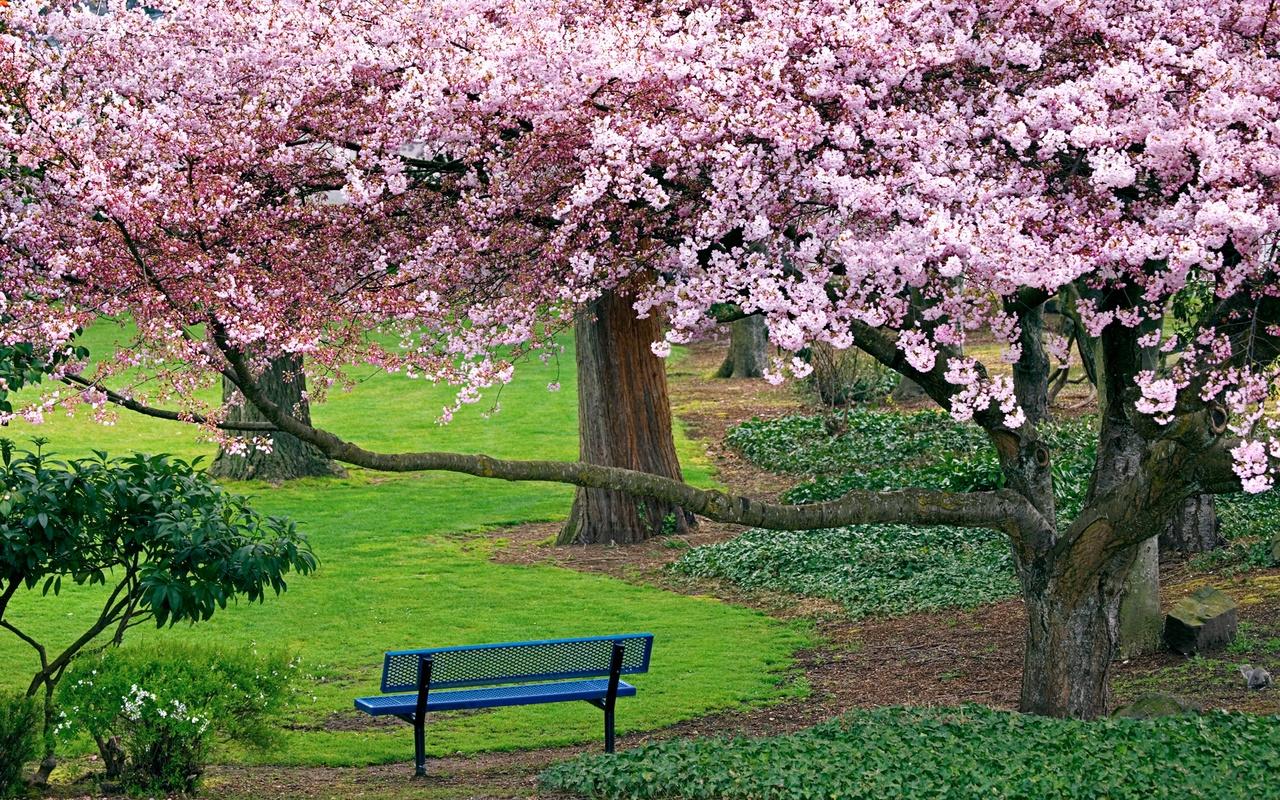 Обои на рабочий стол Сакура в цвету   сборка (16)