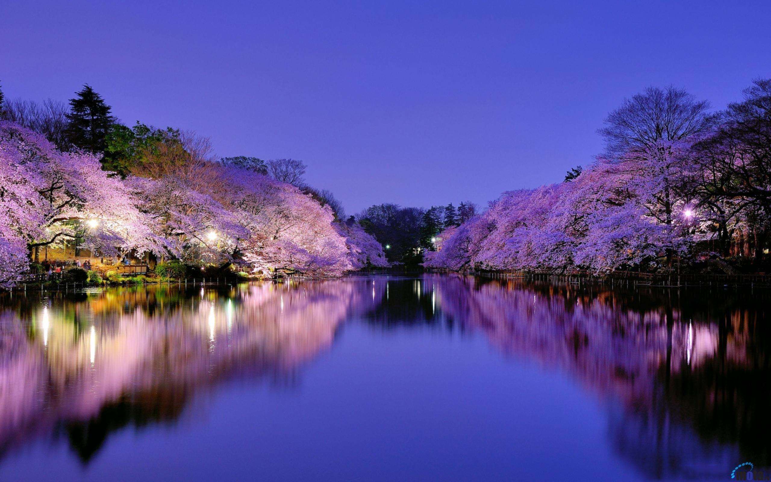 Обои на рабочий стол Сакура в цвету   сборка (19)