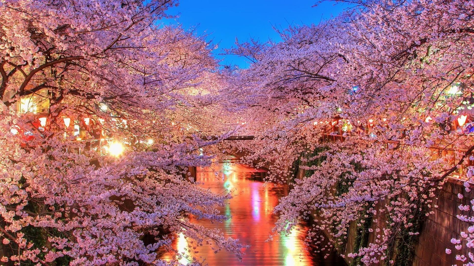 Обои на рабочий стол Сакура в цвету   сборка (28)
