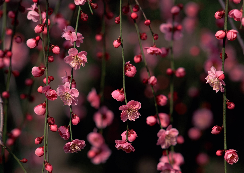 Обои на рабочий стол Сакура в цвету   сборка (3)