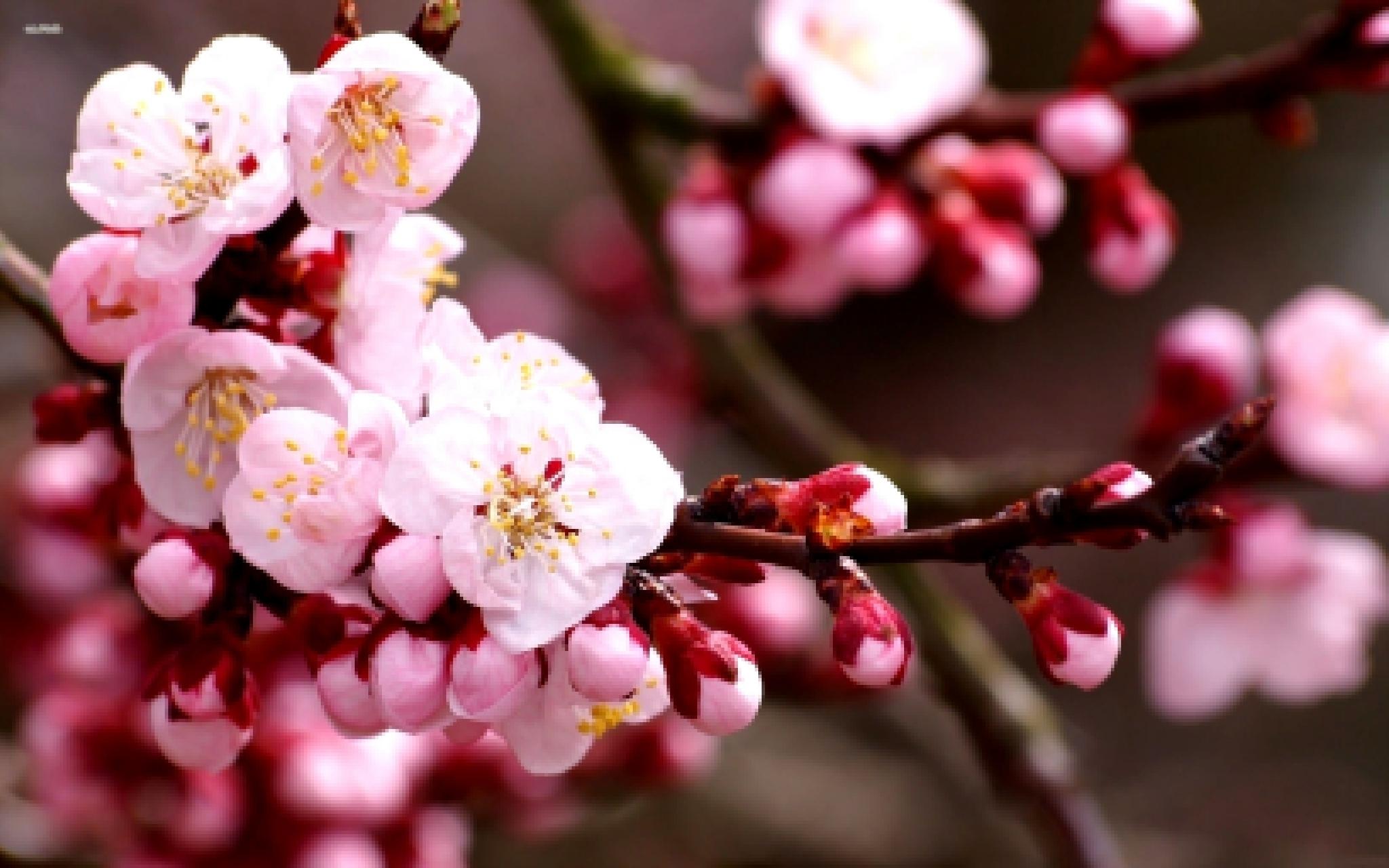 Обои на рабочий стол Сакура в цвету   сборка (4)