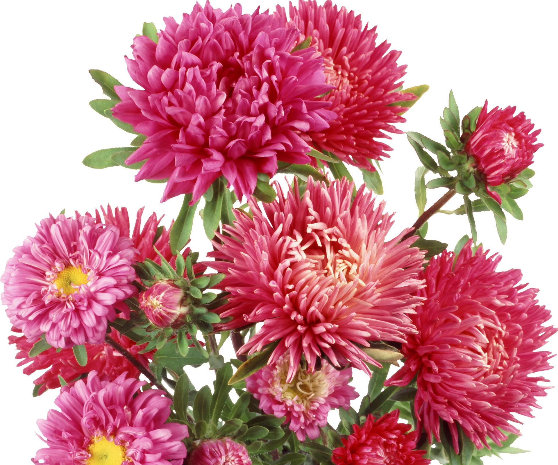 Обои на рабочий стол Цветы хризантемы   подборка (1)