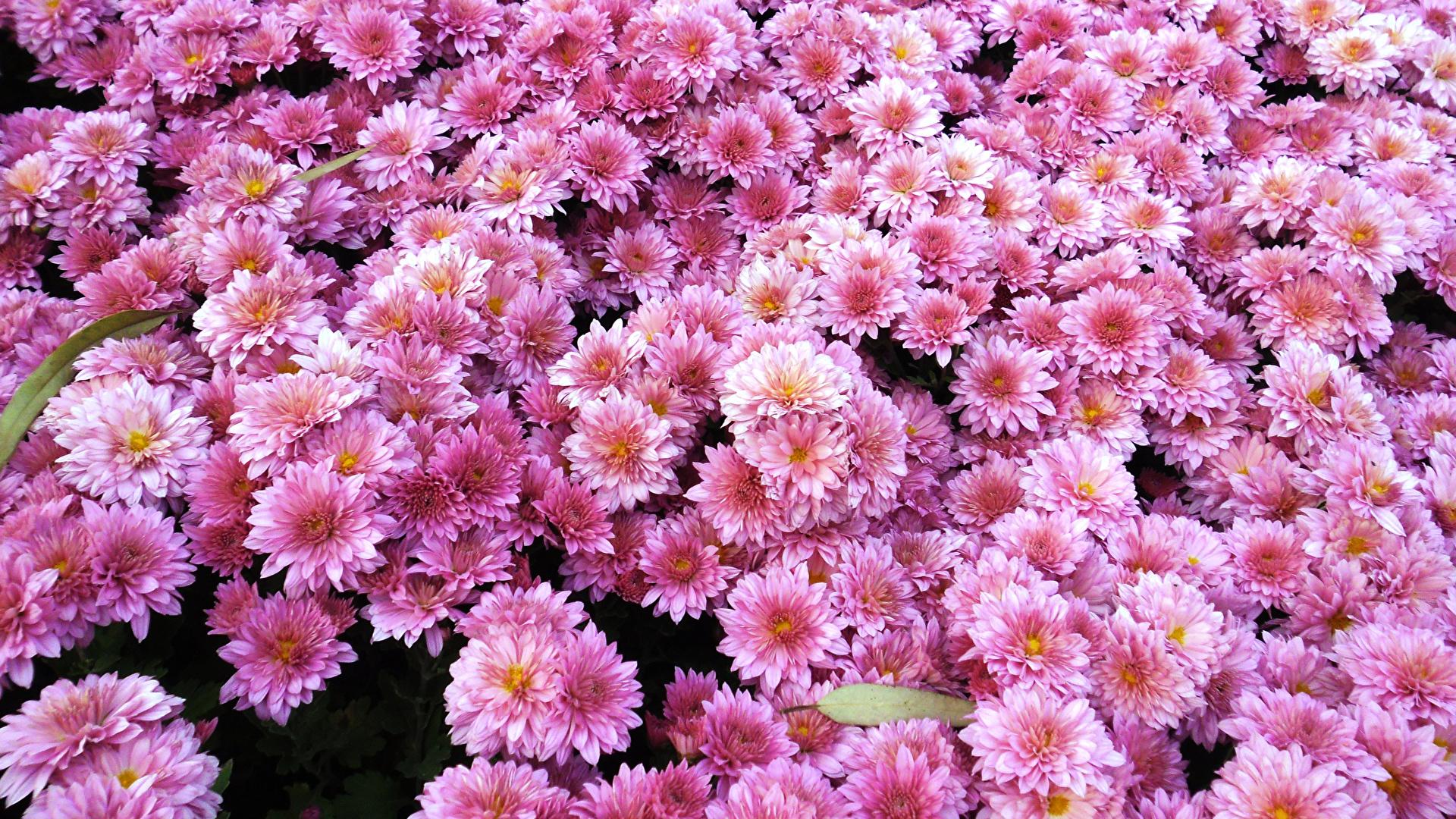 Обои на рабочий стол Цветы хризантемы   подборка (10)