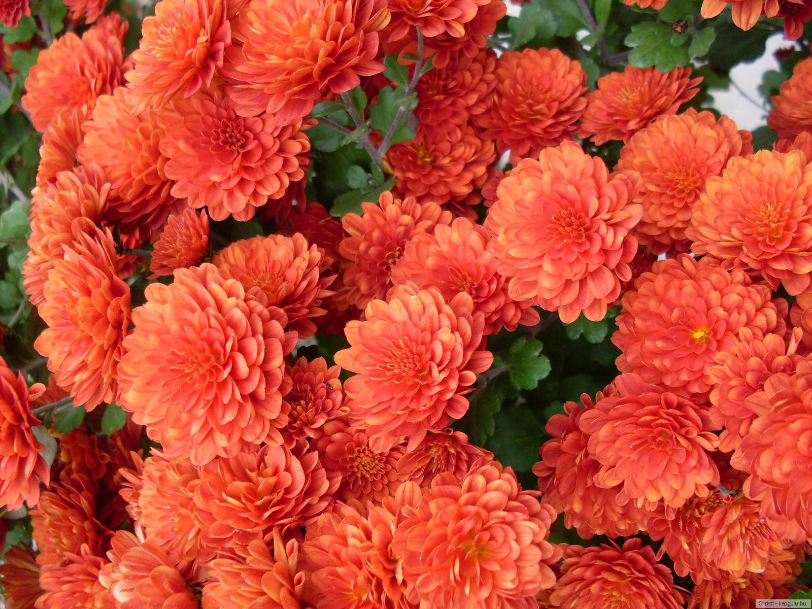 Обои на рабочий стол Цветы хризантемы   подборка (11)