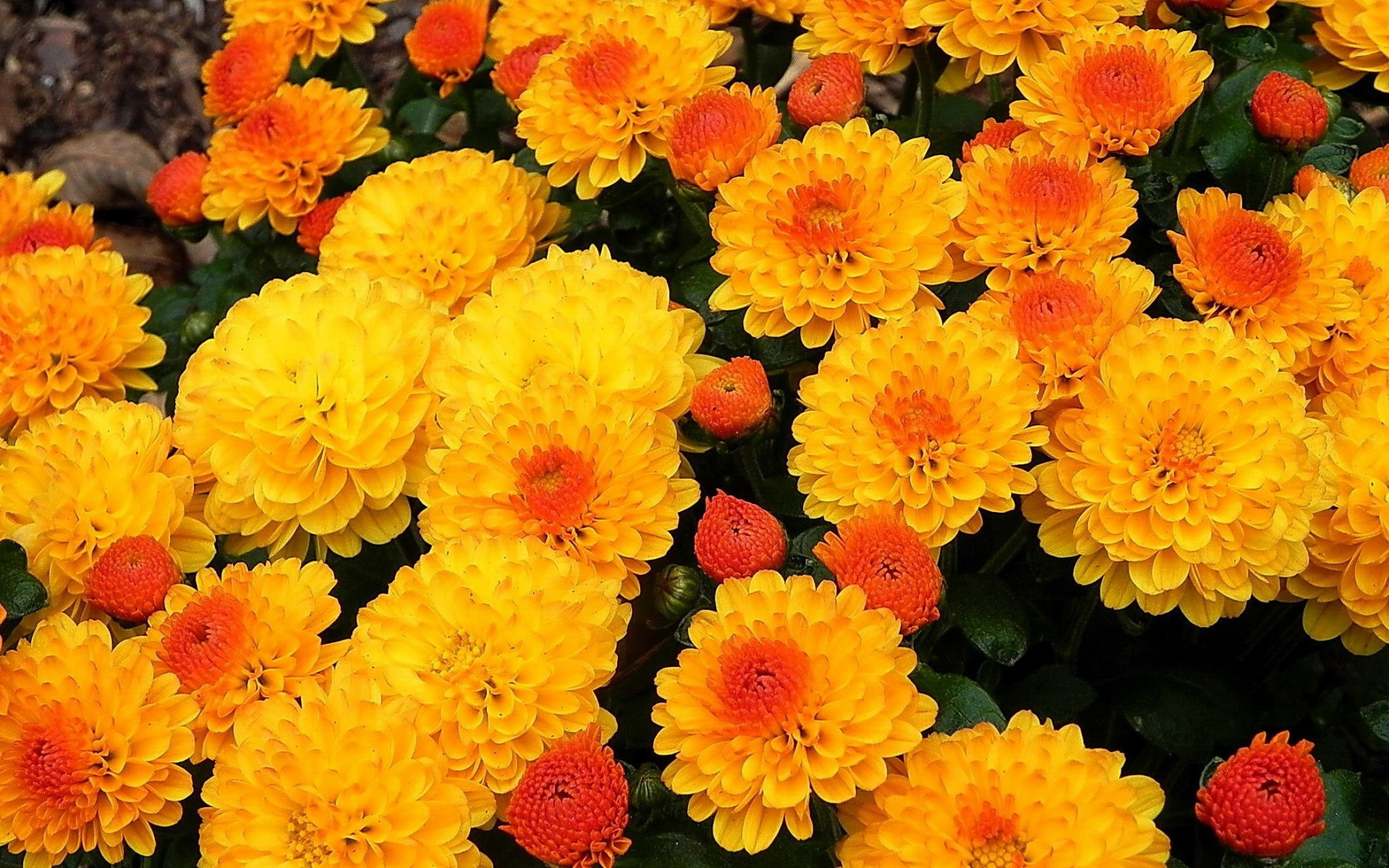 Обои на рабочий стол Цветы хризантемы   подборка (12)