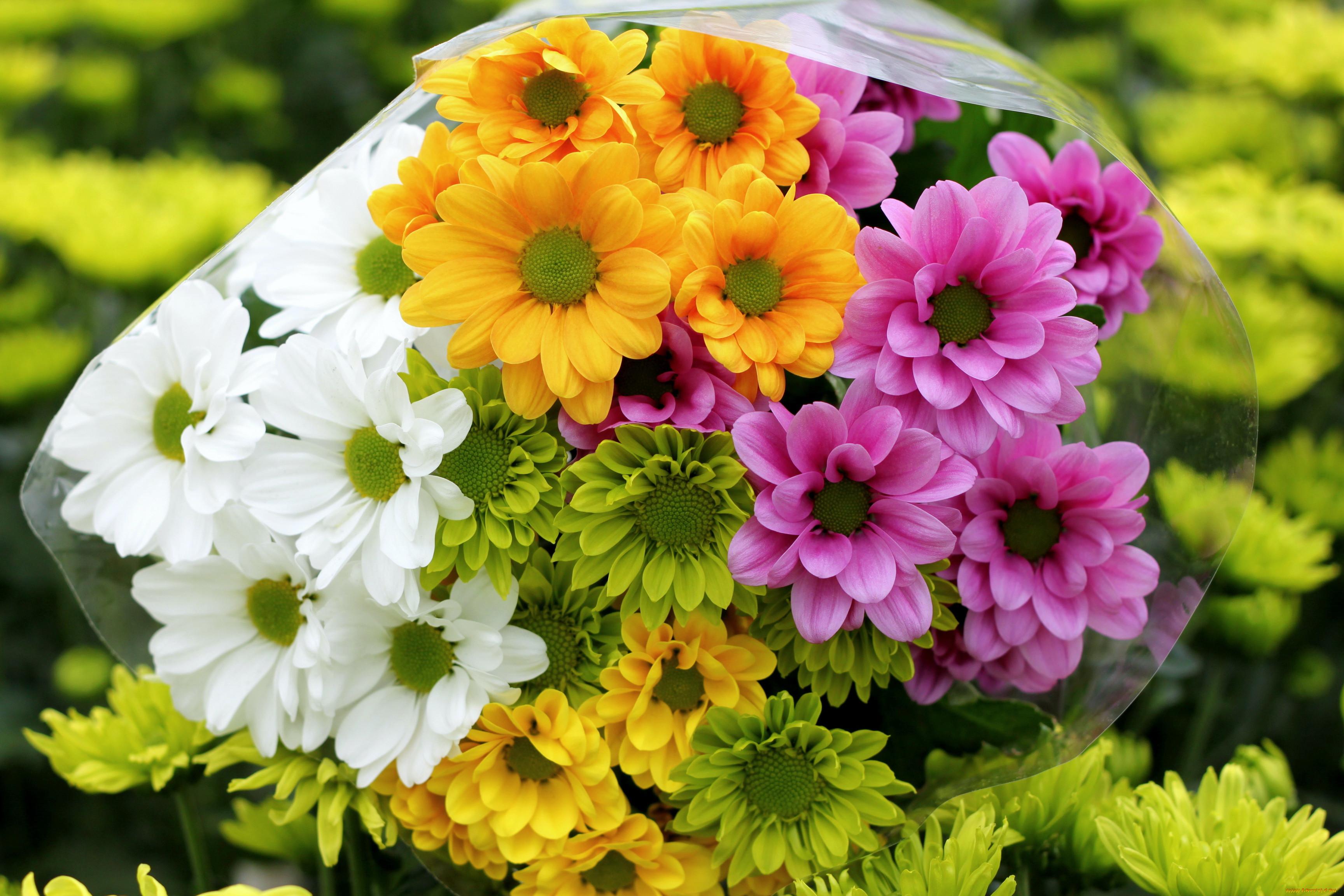 Обои на рабочий стол Цветы хризантемы   подборка (13)