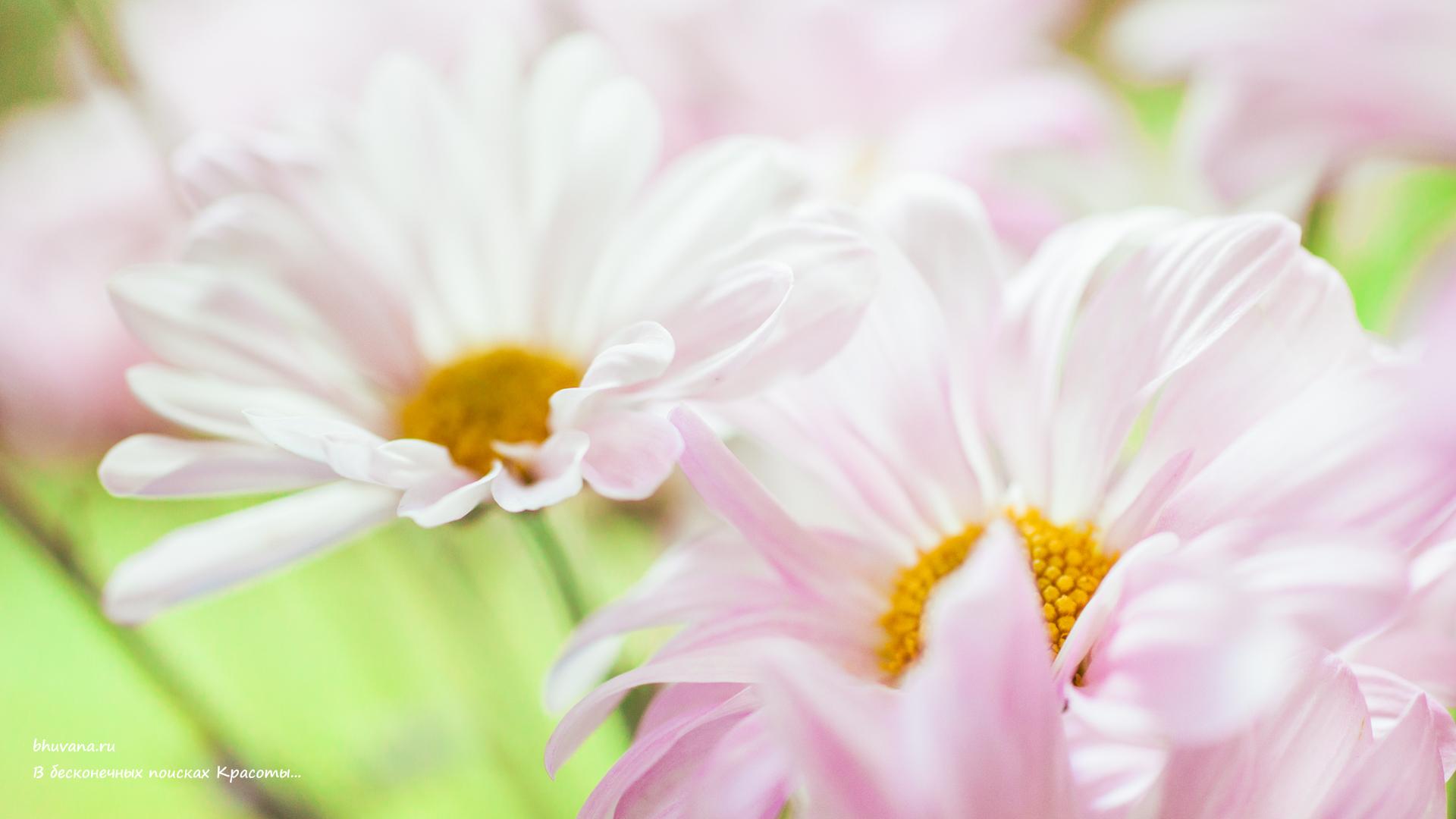 Обои на рабочий стол Цветы хризантемы   подборка (14)