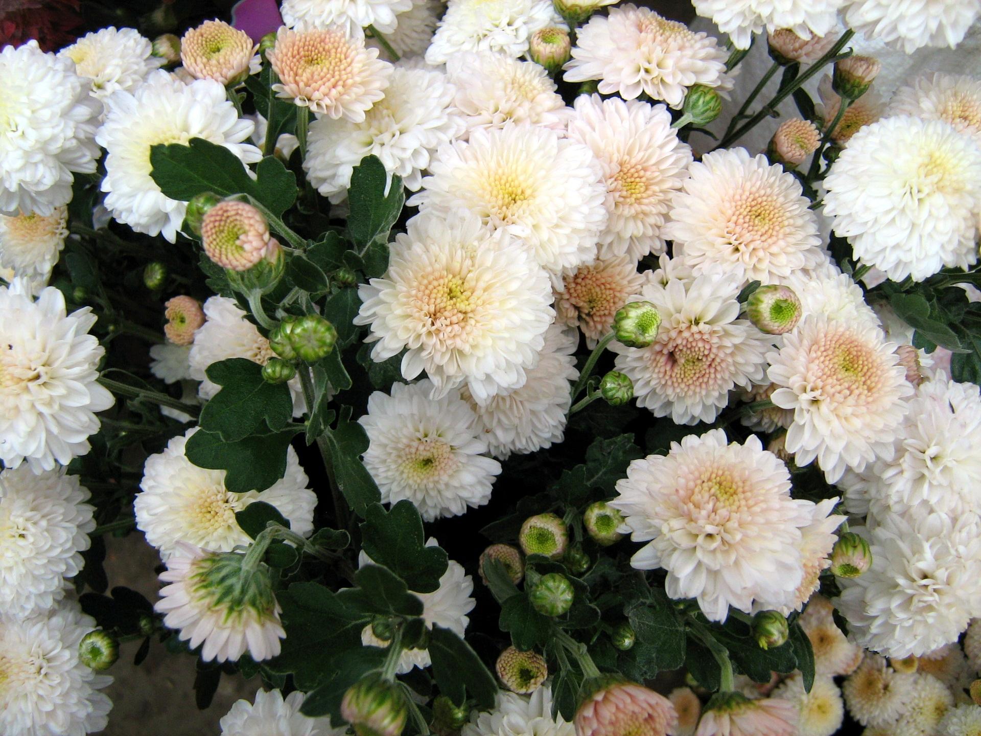 Обои на рабочий стол Цветы хризантемы   подборка (15)