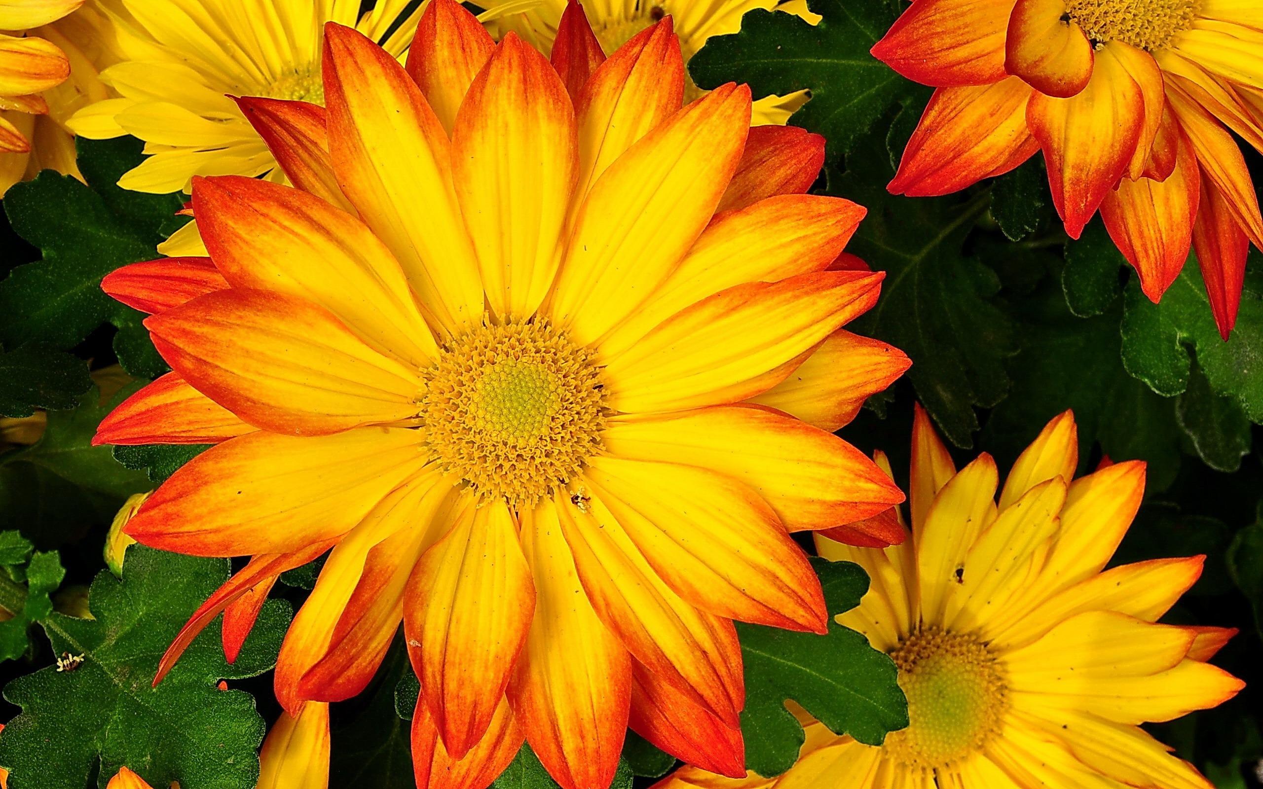 Обои на рабочий стол Цветы хризантемы   подборка (17)