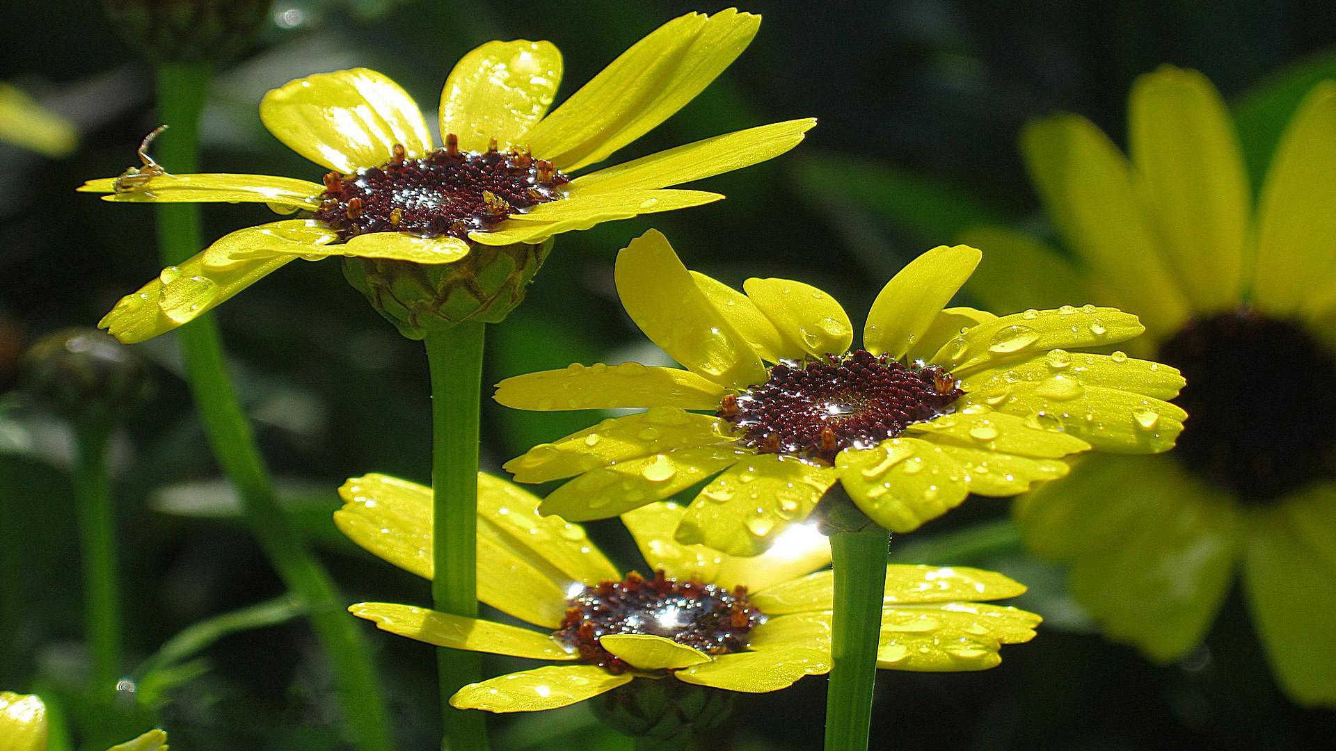 Обои на рабочий стол Цветы хризантемы   подборка (18)