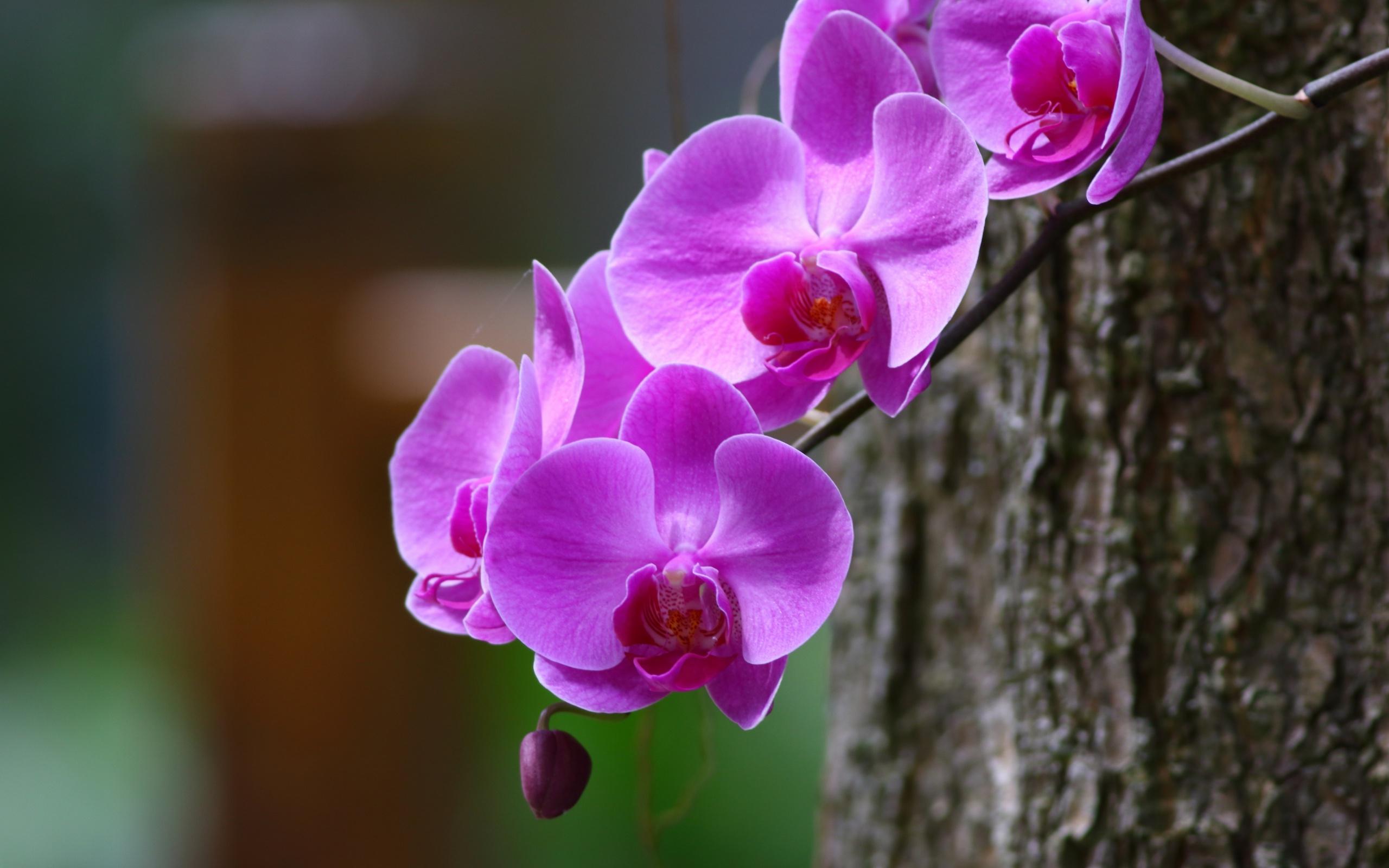 Обои на рабочий стол Цветы хризантемы   подборка (19)