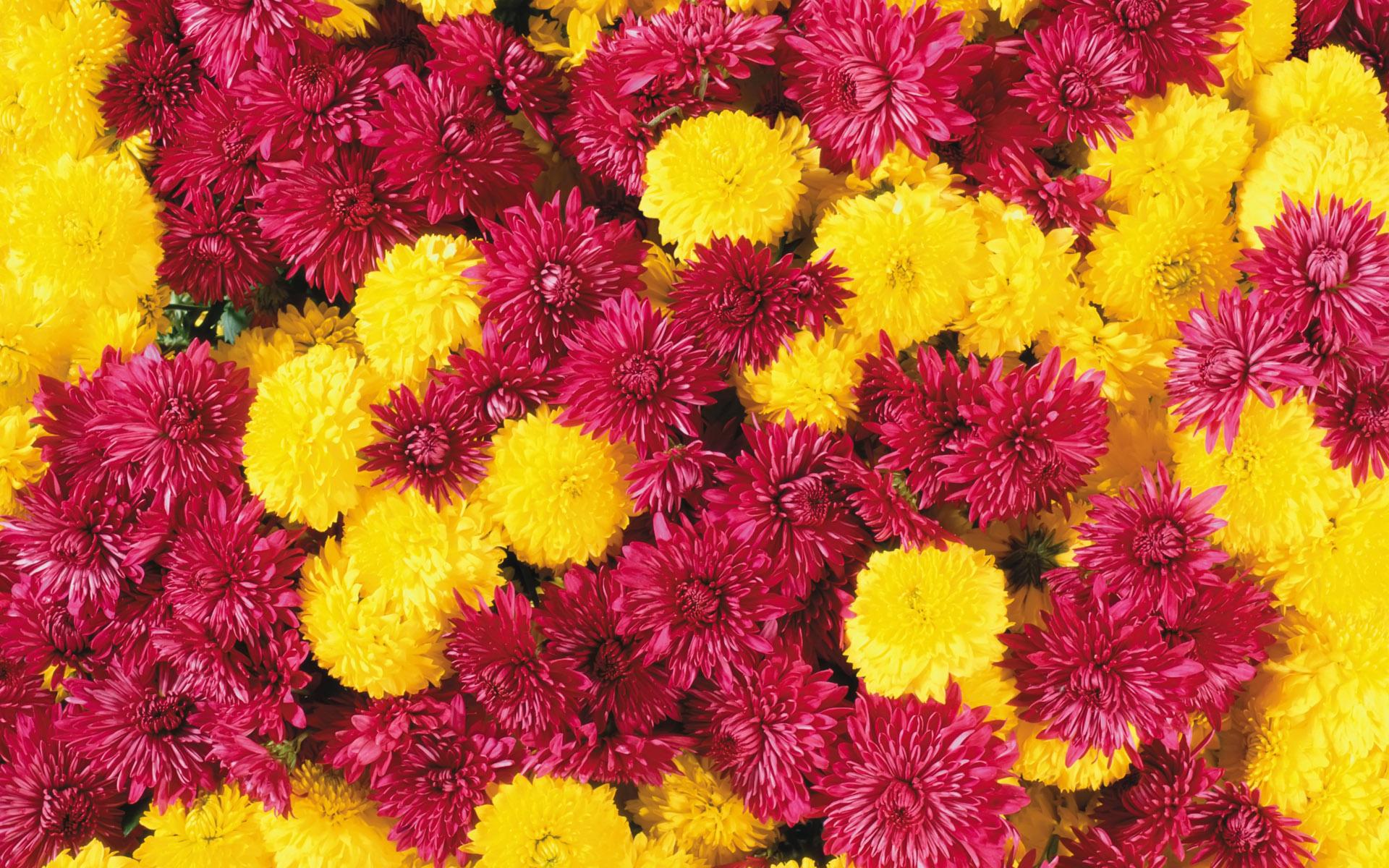 Обои на рабочий стол Цветы хризантемы   подборка (20)