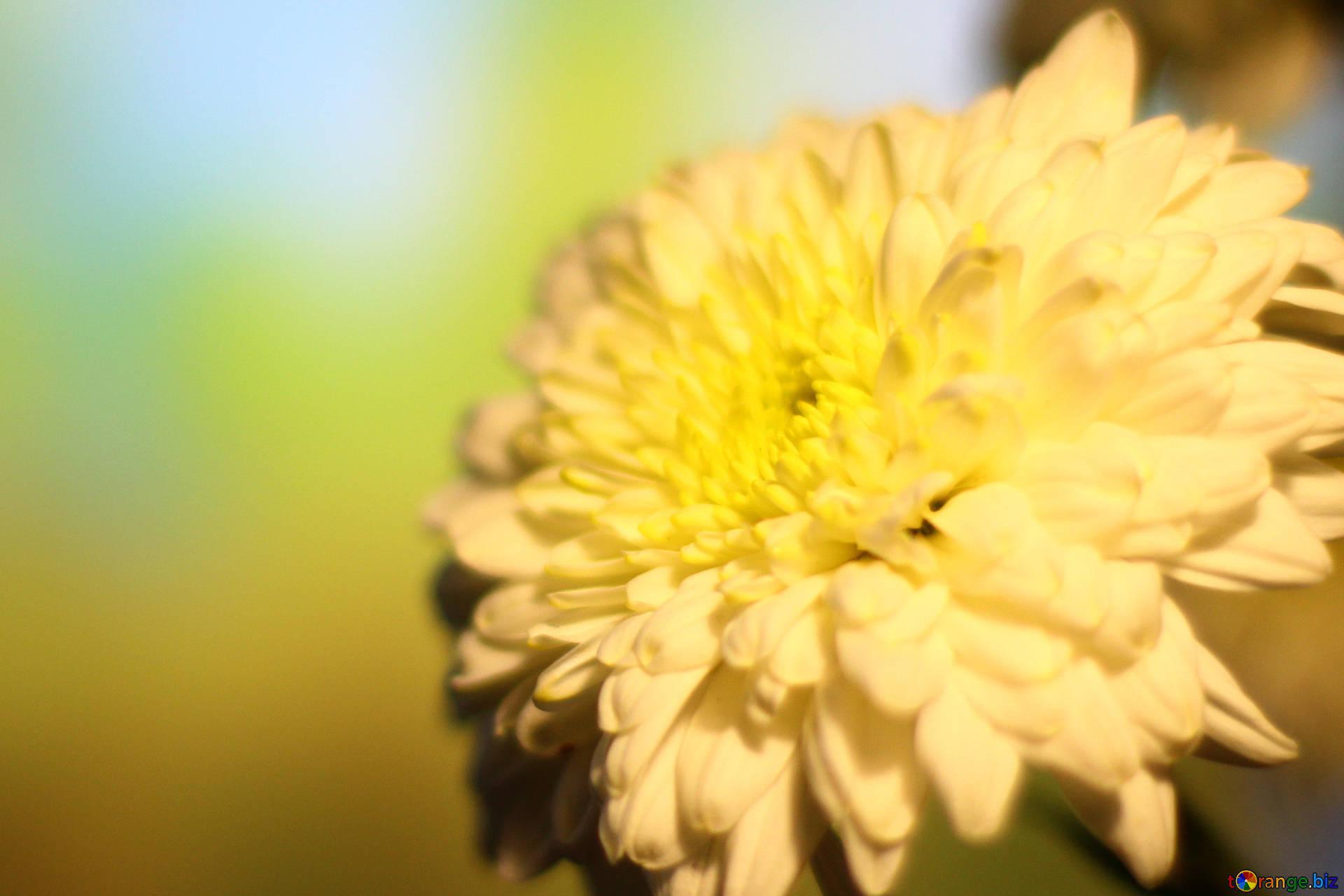 Обои на рабочий стол Цветы хризантемы   подборка (22)