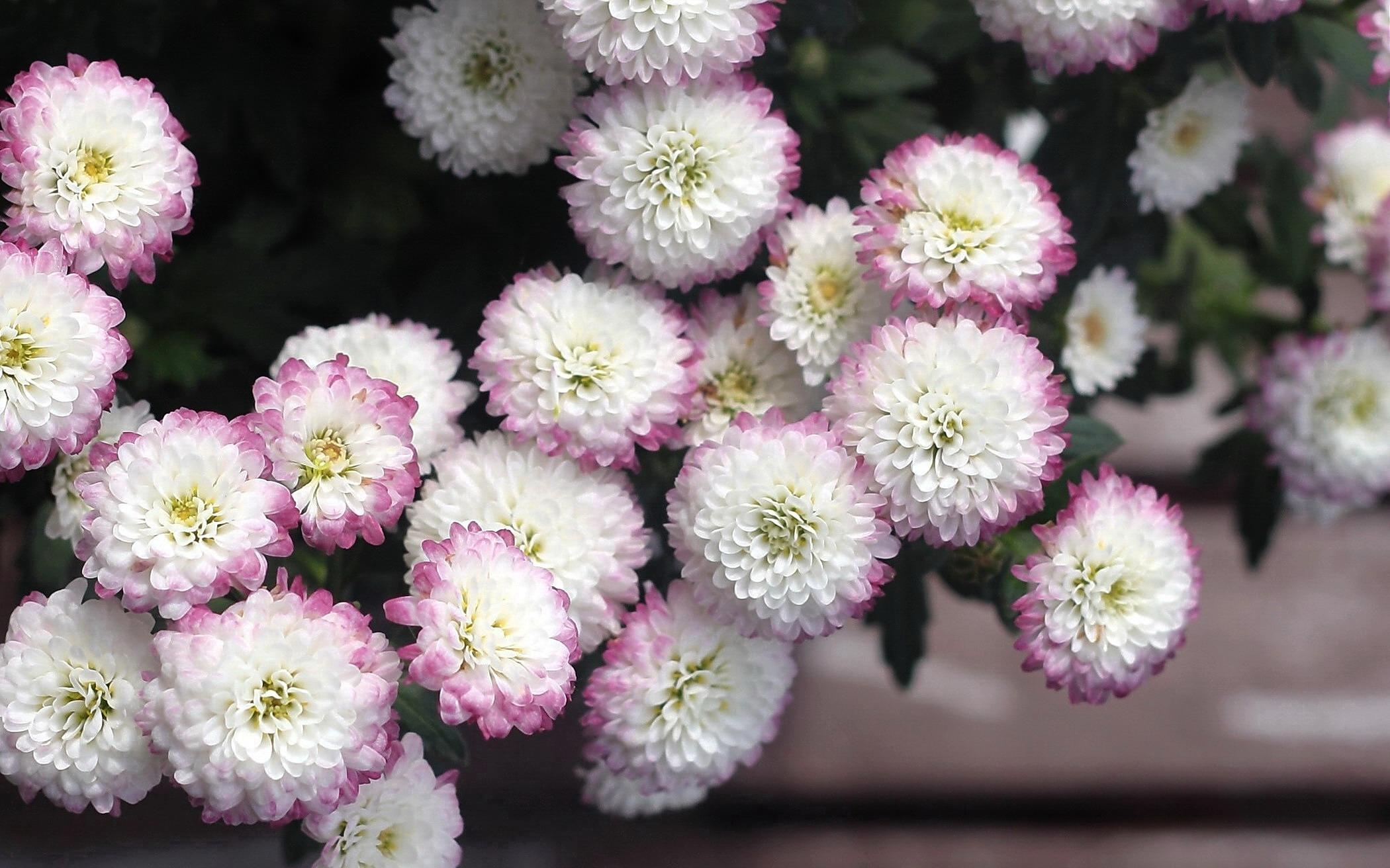 Обои на рабочий стол Цветы хризантемы   подборка (23)