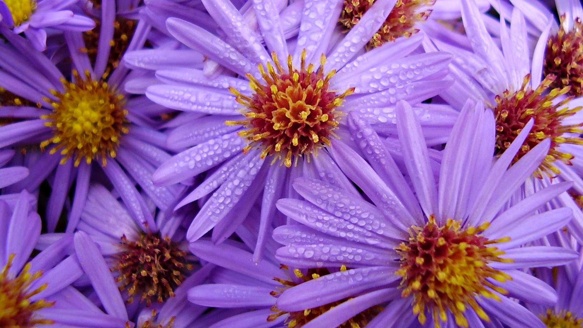 Обои на рабочий стол Цветы хризантемы   подборка (26)