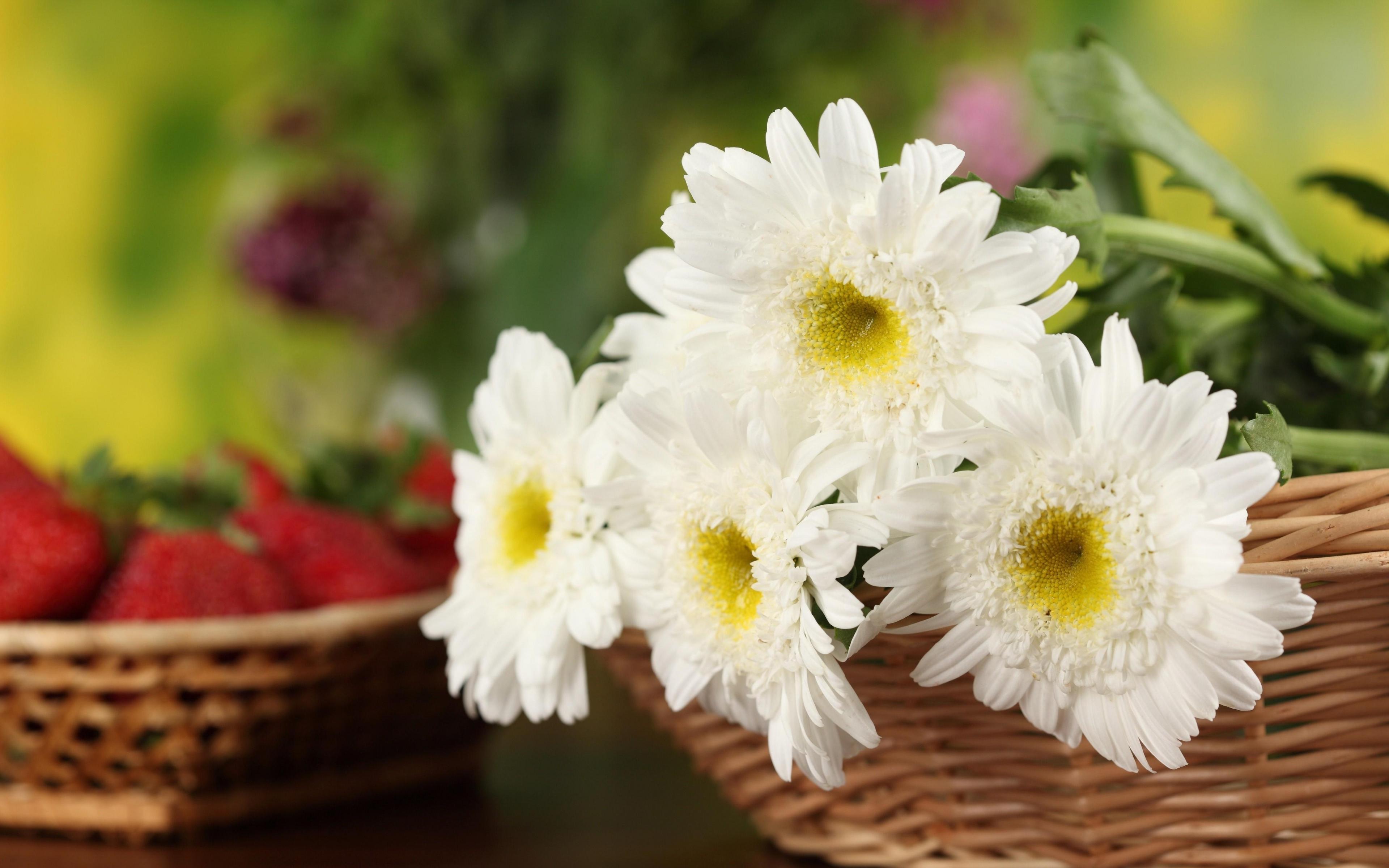 Обои на рабочий стол Цветы хризантемы   подборка (27)