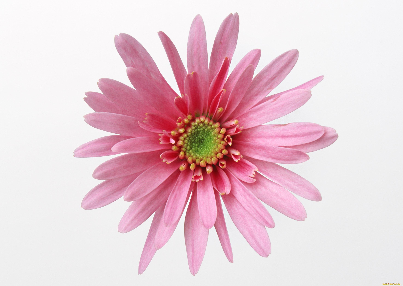 Обои на рабочий стол Цветы хризантемы   подборка (28)